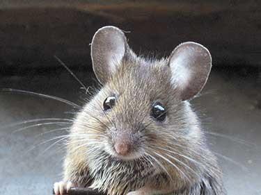 Control de roedores mus musculus