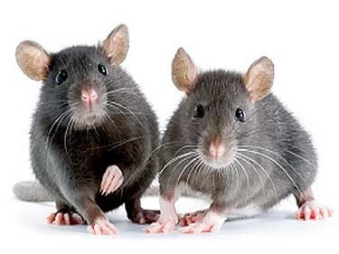 Control de roedores rattus norvegicus
