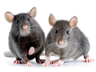 Control de plagas de roedores rattus novergicus