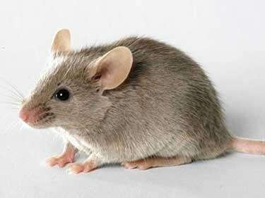 Control de roedores rattus rattus