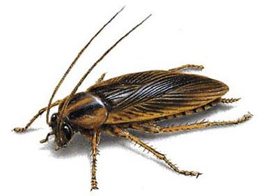 Control de plagas de cucarachas alemanas