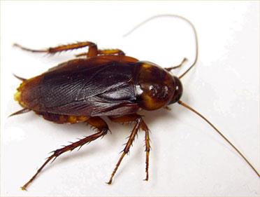 Control de plagas de cucarachas americanas