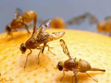 Control de plagas de moscas de frutas