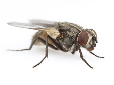 Control de plagas de moscas domesticas